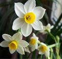 Narcissus20